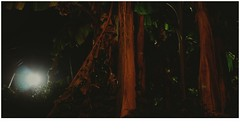 Banana (Torquay Palms) Tags: torquay torbay tor bay the english riviera south devon devons beautiful westcountry west country uk united kingdom gb great britain england abbey road cimon banana plant palm jungle light musa basjoo canon eos m ef 22mm