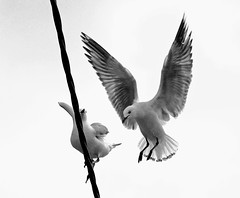 IMG xxxx It's time to spread our wings and fly (Rodolfo Frino) Tags: seagu itstimetospreadourwingsandfly wings spread dove pigeon paloma whitedove twodoves dospalomas rodolfofrino