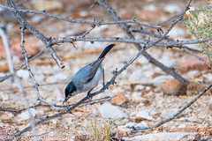 Black-Tailed Gnatcatcher (Male) (Kukui Photography) Tags: 2 mile trail blacktailed gnatcatcher canyon ranch arizona bird tucson 2miletrail blacktailedgnatcatcher canyonranch
