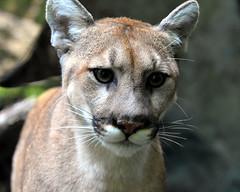 Puma (NikonMike53) Tags: nczoo northcarolinazoo wildlife puma