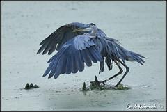 Attitude... (Earl Reinink) Tags: heron greatblueheron fish catfish earlreinink earl reininknikonnikon d5 ihadiaidra