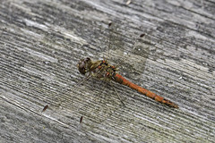 Common Darter Male (me'nthedogs) Tags: dragonfly commondarter westhay somerset levels