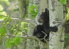 Black Bear Cub...#5 (Guy Lichter Photography - Thank you for 3M views) Tags: canon 5d3 canada manitoba wildlife animals mammal mammals bear bears blackbear cub