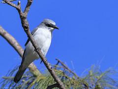 White-breasted Woodswallow (Artamus leucorynchus) (Arturo Nahum) Tags: darwin australia birdwatcher bird animal outdoor wildlife nature whitebreastedwoodswallow artamusleucorynchus