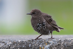 Starling (juv) (Shane Jones) Tags: starling juvenile bird wildlife nikon d500 200400vr tc14eii
