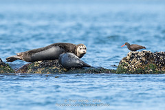 Best Friends... (Tyler Hartje) Tags: sanjuanislands salish sea san juan island washington harbor seal black oystercatcher summer