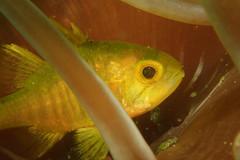 Dark Cardinalfish, Yellow Morph (Gomen S) Tags: fish animal anemone wildlife nature macro tg3 pt056 torch olymups hk hongkong china asia tropical 2016 summer afternoon underwater ocean marine sea diving sandy