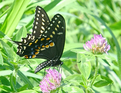 Working over a clover (kendoman26) Tags: butterfly blackswallowtailbutterfly cloverflower fuji fujifinepix fujifinepixf750exr