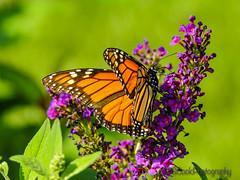 Monarch butterfly (scookster) Tags: odc monarch orange black