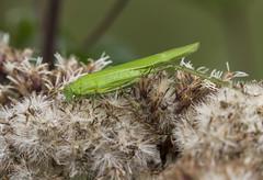 Gemeine Sichelschrecke , NGIDn2055557794 (naturgucker.de) Tags: ngidn2055557794 naturguckerde gemeinesichelschreckephaneropterafalcata weinstadt mhlhfle cvolkerherdtle