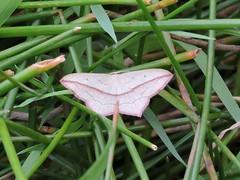 Blood vein moth (deannewildsmith) Tags: earthnaturelife moth wolseley