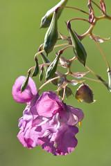 ckuchem-7984 (christine_kuchem) Tags: bach blte springkraut ufer wildpflanze drsiges gewsser nichtheimisch rosa