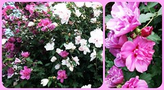 HOLY BLOOMIN ROSE OF SHARON, BATMAN! (Visual Images1) Tags: flowers bush roseofsharon diptych