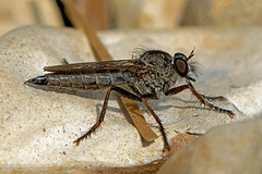 Machimus atricapillus - the Kite-tailed Robberfly (female) (BugsAlive) Tags: fly flies robberfly animal outdoor insects insect diptera macro nature pentatomidae machimusatricapillus kitetailedrobberfly asilinae wildlife hundredacrepiece berkshire liveinsects uk