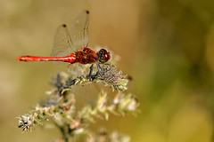 Scarlet dragonfly (pavel conka) Tags: vka erven crocothemis erythraea scarlet dragonfly dlo macro makro red conka czech nature insecta