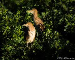 Night Heron Chicks in soft light (DonMiller_ToGo) Tags: wildlife venicerookery nature birdwatching birds outdoors d5500 nightheron nik rookery florida