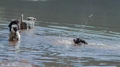 LENNYS GANZ AUS VERSEHEN ERSTES SCHWIMMEN (rentmam1) Tags: dog hund lenny