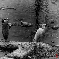 / White And Grey Herons (snakecats) Tags:       monochrome blackandwhite bw bird  heron   whiteheron   greyheron
