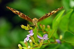 mother's nature son (DOLCEVITALUX) Tags: butterfly insect flora fauna philippines