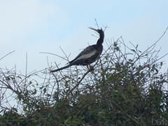 Anhinga anhinga  (Luis G. Restrepo) Tags: p2090629 ave bird colombia casanare patoaguja anhinga anhingaanhinga anhingidae southamerica