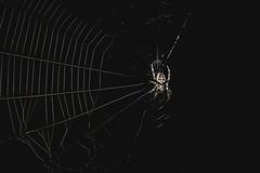 Back on the Dark Web - HSS! (The Mad Macrographer) Tags: hss sliderssunday spider web topazglow nightphotography garden outdoors canon7d canonef100mmf28lmacroisusm peterborough uk nikkvalentine