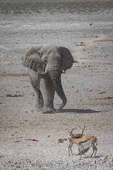 Namibia 2016 (303 of 486) (Joanne Goldby) Tags: africa africanelephant antidorcasmarsupialis august2016 elephant elephants etosha etoshanationalpark explore loxodonta namiblodgesafari namibia safari springbok antelope