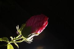 _DSC0195 (wdeck) Tags: meingarten flowers sonya700 blossoms blte malve hibiskus