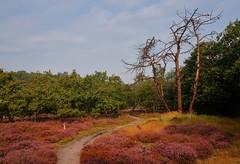 Solleveld (hansve) Tags: solleveld dunes duinen heide bomen trees colors kleuren heather
