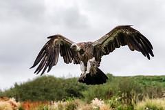 White Backed Vulture (Gyps africanus) (Boba Fett3) Tags: bird avian vulture flight landing hawkconservancytrust