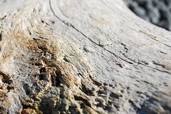 Driftwood Log (laurelpattee) Tags: abstract wood wooden log driftwood beach cobble yaquina newport texture cracks holes