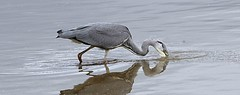 Grey Heron fishing (Bogger3. Off Line) Tags: greyheron pool venuspool catchingfish canon600d tamron150x600lens
