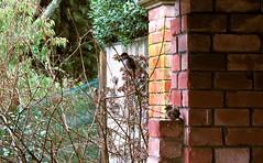 Hamilton Gardens Sparrows (JayVeeAre (JvR)) Tags: ©2016johannesvanrooy canonpowershotg10 englishgarden gimp28 gimpforphotography gimpuser hamilton newzealand 2016 hamiltongardens httpwwwflickrcomphotosjayveeare httpwwwpanoramiocomuser1363680 johannesvanrooy johnvanrooy johnvanrooygmailcom picasa3 rain sparrow sparrows