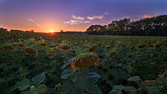 Sad Sunflowers With Their Back Turned To the Sun (Dustin Graffa) Tags: sunflower sunset wrightsville york hellam pennsylvania pa colorful exposure blending luminosity masks hdr landscape uncool uncool2 cool uncool3 uncool4 uncool5 uncool6 cool2 uncool7 iceboxuncool