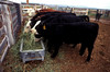 cattle feeding by Oregon State University, on Flickr