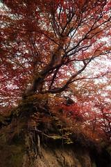 European beech (Rainer Schund) Tags: european beech rotbuche outdoor ostsee herbst autumn autumnal nikon natur nature natureexploring naturemasterclass red rot mystery mystic mystisch nikond4