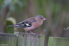 Chaffinch (male) (kjclenz2010) Tags: rspb chaffinch canon7d sigma saltholme