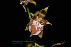Odontoglossum x strobelorum 6158 (A. Romanko) Tags: odontoglossum hennisii strobelorum