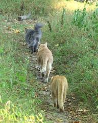 heading back home (judecat (back with the pride)) Tags: cathillfarm kittywalk cats felines floydd leo sally onthepath