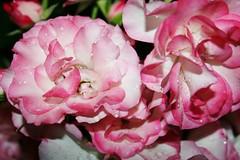 Exquisite (bigbrowneyez) Tags: pink flowers roses nature wet beautiful rain ruffles droplets gorgeous blossoms romantic buds lovely exquisite joyful mygarden rosebush prettypetals rememberthatmomentlevel1