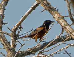 Orchard Oriole (ritchey.jj) Tags: orchard oriole