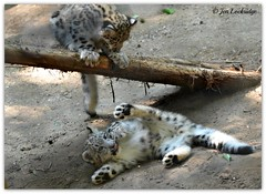 Upstairs, downstairs (Nikon~Dolll) Tags: playing cute twins fuzzy fluffy snowleopard snowleopards capemayzoo snowleopardcubs babysnowleopards