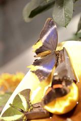 554T7196 (cliff1066) Tags: life plant nature museum butterfly bug garden insect fly orleans louisiana neworleans moth butterflies exhibit caterpillar swamp metamorphosis buttefly audubon customhouse insectarium audubonbutteflygarden