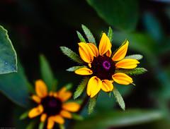 2 yellow flowers.jpg (Father Tony) Tags: summer flower macro nature beauty yellow southdakota canon unitedstates sigma yellowflower sd wildflower savoy canoneos50d sigmaef50mmf25compactmacro adobephotoshopcs6 alienskinexposure4