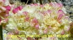 100_1193 (sierrarainshadow) Tags: eriogonum var ovalifolium nivale