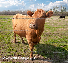 Cow behind fence (Remsberg Photos) Tags: usa field animal virginia cow cows farm pasture ag agriculture livestock smithfield agriculturethings