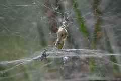 Cyrtophora citricola (esta_ahi) Tags: subirats penedès barcelona españa aranya araña spider cyrthophora citricola cyrthophoracitricola cyrtophora cyrtophoracitricola araneidae arachnida fauna telaraña spain испания