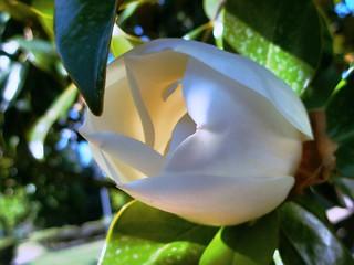 Magnolias grandiflora con todo su esplendor. / Magnolia grandiflora in all its splendor.