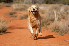 Coming at ya! (Tom_Morris Photos) Tags: dog golden sedona hike retriever
