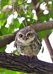 Spotted Owlet - Athene brama (2) (Andy_LYT) Tags: bird thailand nikon spotted chong pak owlet 600mm athenebrama d7000