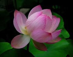 Lotus flower (PeterCH51) Tags: china pink plant flower purple shanghai lotus 上海 mywinners guyigarden wonderfulworldofflowers peterch51